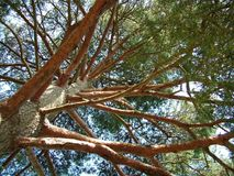 A view up into the trees. Looking up into the trees from the ground royalty free stock image