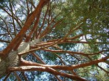 A view up into the trees. Looking up into the trees from the ground stock image