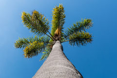 View up Trunk of Palm Tree From Below Royalty Free Stock Images