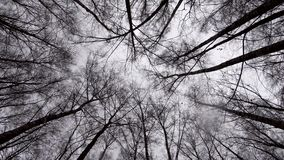A view upstairs of tree crowns in the winter forest and grey cold skies.