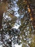 Pair of gigantic Redwood Trees at Baden-Baden Kurpark. View upwards along the majestic stems and branches of 2 gigantic Redwood trees at Baden-Baden Kurpark / stock photo