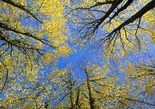 View upwards in autumn forest Royalty Free Stock Images