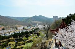 Cherry trees blooming in the park. View on the valley with blooming cherry trees in the Chinese city Dalian stock image