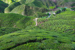 View of valley filled with tea plantations in Cameron Highlands, Stock Photography