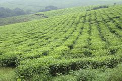 A vast tea plantation in Uganda. A view on a vast tea plantation in Uganda, Africa. On these hills there are endless fields of tea plants as far as the eye can royalty free stock photos