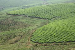 A vast tea plantation in Uganda. A view on a vast tea plantation in Uganda, Africa. On these hills there are endless fields of tea plants as far as the eye can stock images