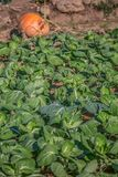 View of a vegetable garden with cabbages, organic farming, with all the artisan process of cultivation. Pumpkin on background, in Portugal stock images