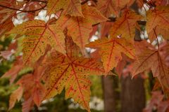 Beautiful Brightly Colored Fall Leaves. A view of very brightly colored leaves captured on a cool autumn day stock photo