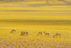 Vicuna in the Altiplano landscape of Chile by San pedro de Atacama Stock Photography