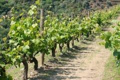 View on vineyard Royalty Free Stock Image