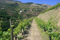 View on vineyard Royalty Free Stock Photography