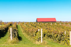 View of vineyard and barn Stock Photo