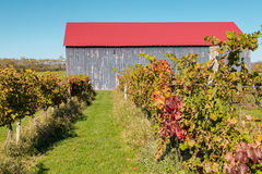 View of vineyard and barn in autumn Stock Photo