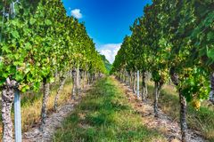 View through the vineyard with blue sky royalty free stock photo