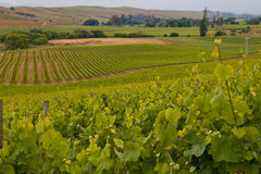 View of vineyard countryside. In Marlborough New Zeland Stock Photography