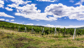 View of a vineyard in the Crimea Stock Photography
