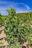 Languedoc-Roussillon province in France. View at vineyard in Languedoc-Roussillon province in France Stock Photos