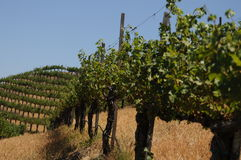 View of a vineyard Royalty Free Stock Images