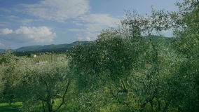 View on Vineyard from Olive Orchard in Tuscany. Medium wide long handheld high angle high dynamic range shot of a view on a vineyard with rows of grapevines near stock footage