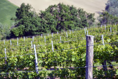 View of a vineyard Stock Photography
