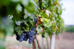 View of vineyard row with bunches of ripe red wine grapes. Republic of Moldova grapes harvesting season. stock images