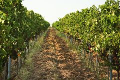 View of vineyard rows with fresh ripe juicy grapes. On sunny day royalty free stock image