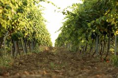 View of vineyard rows with fresh ripe juicy grapes. On sunny day stock images