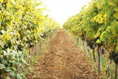 View of vineyard rows with fresh ripe juicy grapes. On sunny day stock image