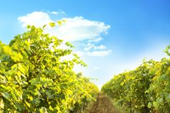 View of vineyard rows with fresh ripe juicy grapes. On sunny day stock photo