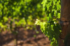 A view of a vineyard in San Quirico d`Orcia, Tuscany, Italy royalty free stock photo