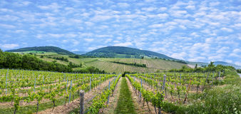 View  of vineyard in spring time Stock Images