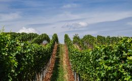 View into grapeyard in summer royalty free stock photos