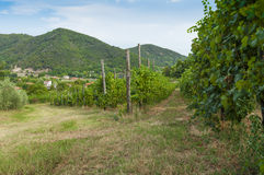 View of vineyards from Euganean hills, Italy during summer. Beautiful vineyards at summer, on the Euganean hills, padova, veneto, Italy. Taken during late stock photos