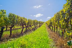 Vineyard at sunny day. View of the vineyards in Kutjevo Croatia stock photography