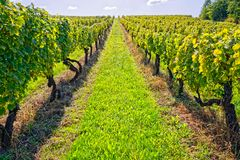 Vineyard at sunny day. View of the vineyards in Kutjevo Croatia stock image