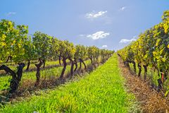 Vineyard at sunny day. View of the vineyards in Kutjevo Croatia stock images