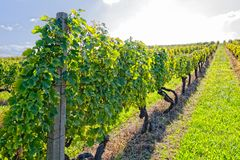 Vineyard at sunny day. View of the vineyards in Kutjevo Croatia royalty free stock photos