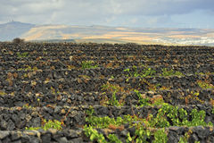 Vineyards at La Geria Valley, Lanzarote Island, Canary Islands, Stock Images