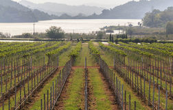 View of vineyards in Thailand near Lake Stock Photo