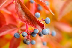 Virginia creeper detail. View on Virginia creeper berries and red leaf in Autumn stock images