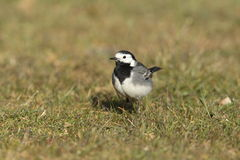Pied wagtail. Stock Photo