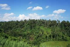 View from a walk on rice field in Bali with palm trees Stock Image