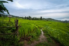 View of the walk way inside the rice terraces at Bong Piang forest in Chiang Mai, Thailand. View of the walk way inside the rice terraces in rainy day at Bong Royalty Free Stock Image