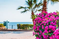 View of walking alley near beach with palms and bunch-forming flowers. Bougainvillea spectabilis. royalty free stock photo