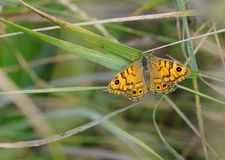 Wall Brown Butterfly on Blade of Grass Stock Photography