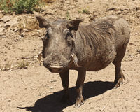 A View of a Warthog, an African Mammal Stock Photos
