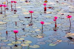 View of water lily blooming in a pond in the morning Stock Photos