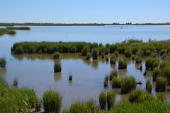 View At Water And Waterplants In The Delta Of  Ebro River In Spain. Royalty Free Stock Photo