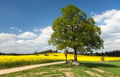View of way between rapeseed field and lime tree Royalty Free Stock Photo