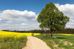 View of way between rapeseed field and lime tree Stock Photography
